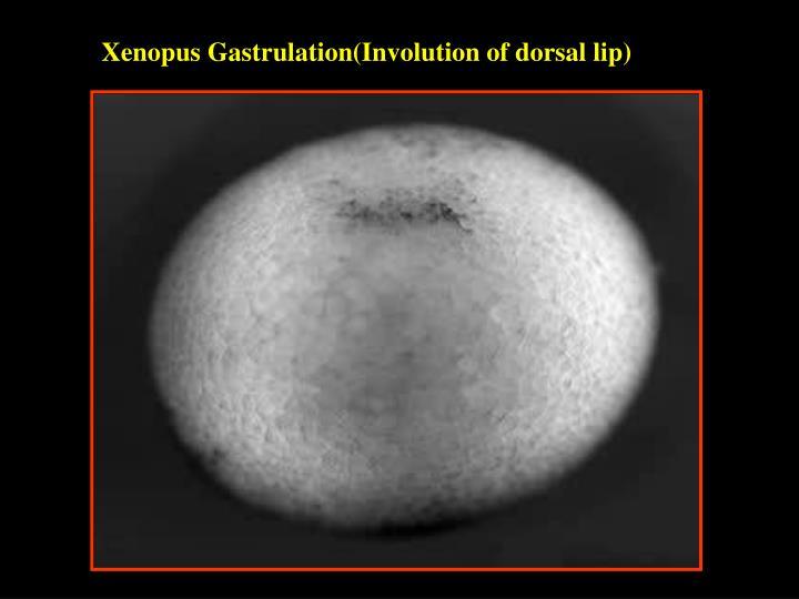 Xenopus Gastrulation(Involution of dorsal lip)