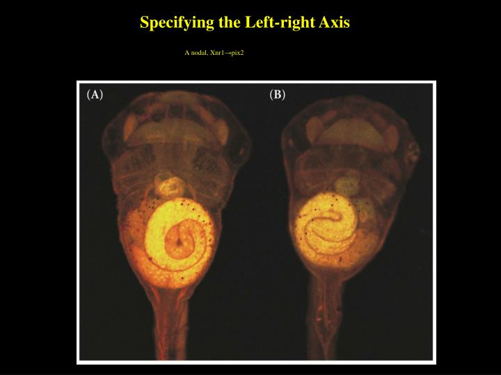 Specifying the Left-right Axis