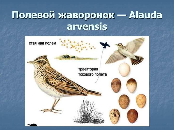 Полевой жаворонок — Alauda arvensis