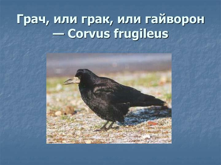 Грач, или грак, или гайворон — Corvus frugileus