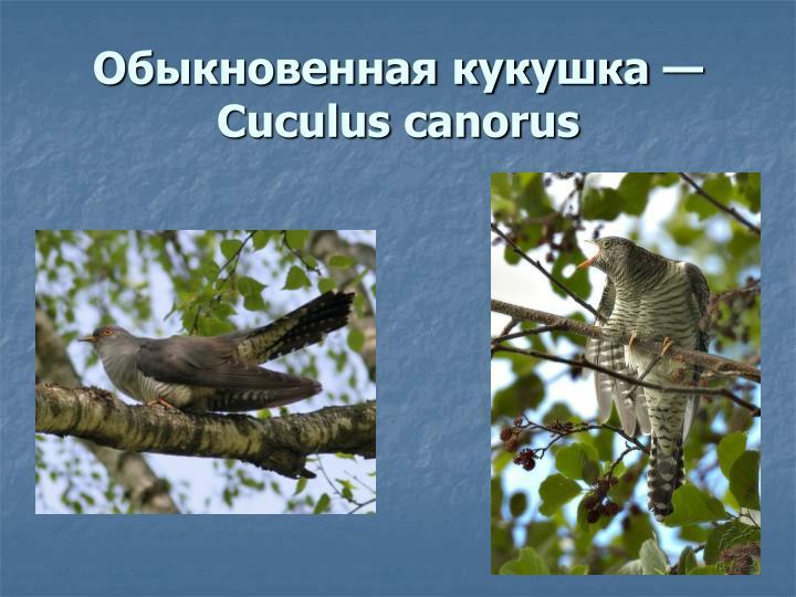 Обыкновенная кукушка — Cuculus canorus