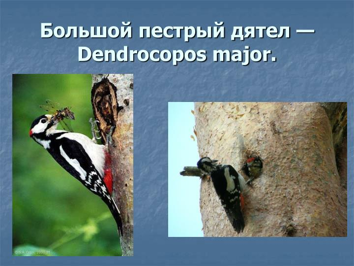 Большой пестрый дятел — Dendrocopos major.