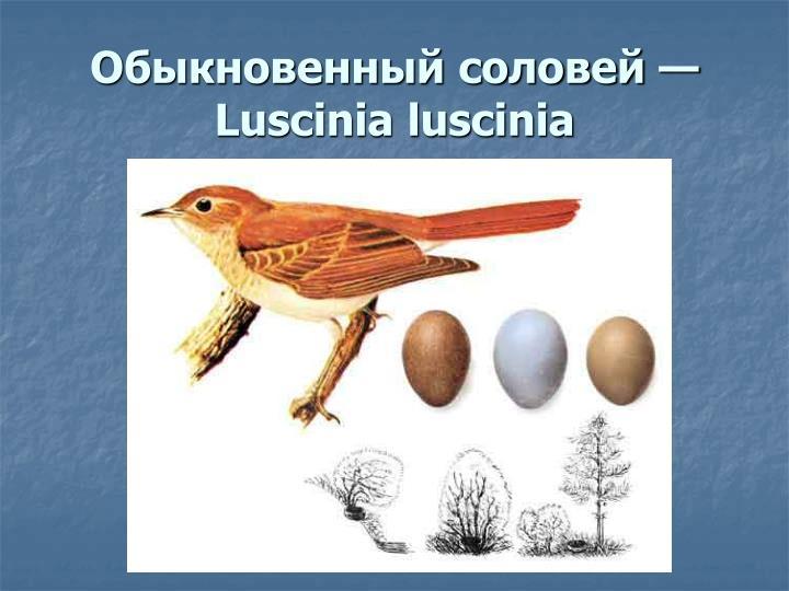 Обыкновенный соловей — Luscinia luscinia