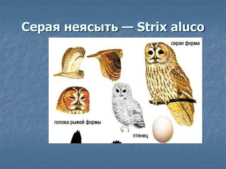 Серая неясыть — Strix aluco