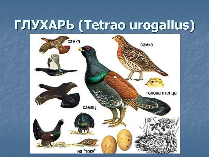 ГЛУХАРЬ (Tetrao urogallus)