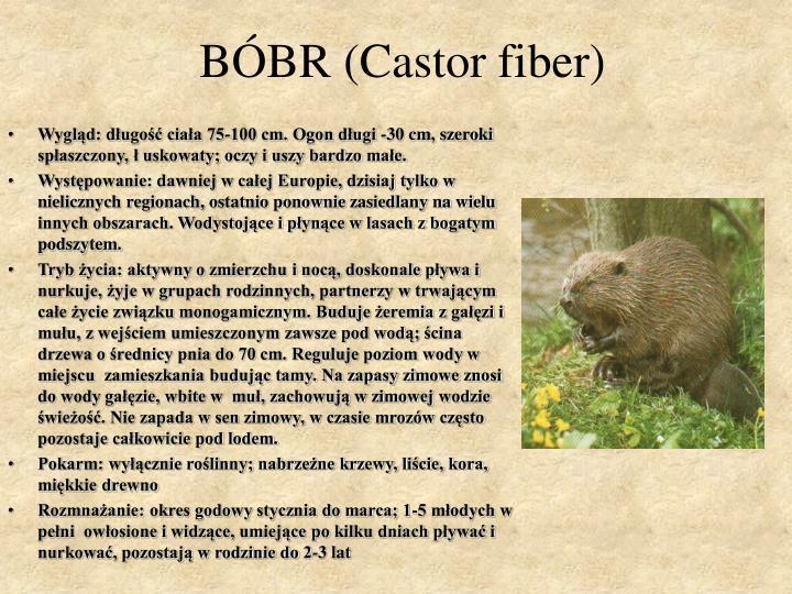 BÓBR (Castor fiber)