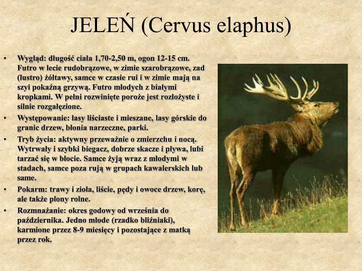JELEŃ (Cervus elaphus)