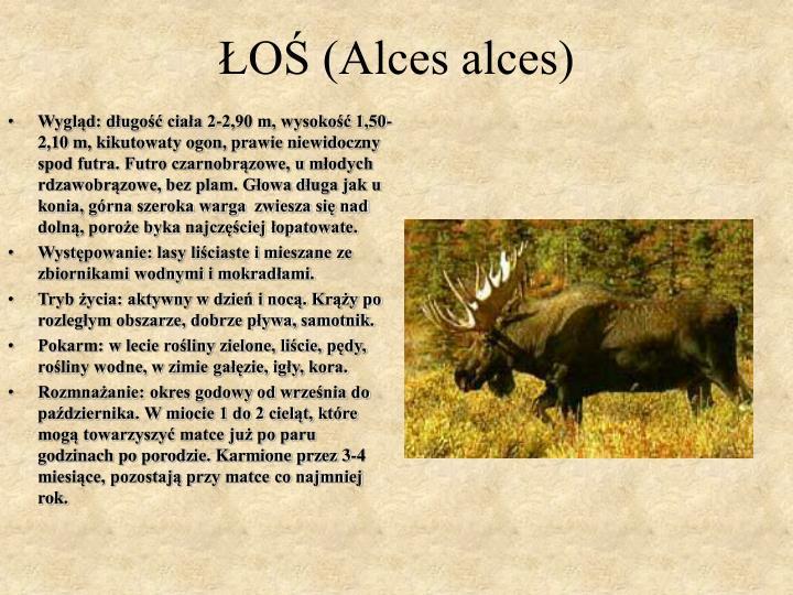 ŁOŚ (Alces alces)