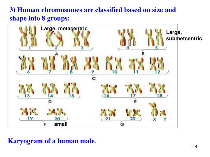 3) Human chromosomes are classified based on size and shape into 8 groups: