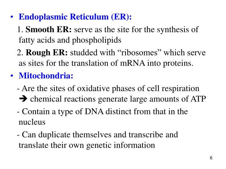Endoplasmic Reticulum (ER):