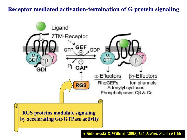 Receptor mediated activation-termination of G protein signaling