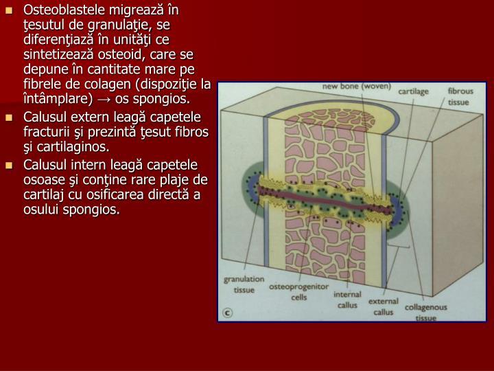 Osteoblastele migr