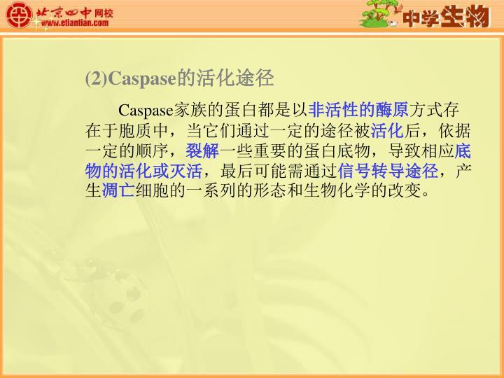 (2)Caspase