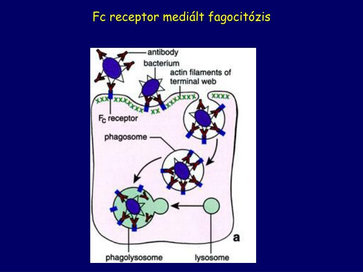 Fc receptor mediált fagocitózis