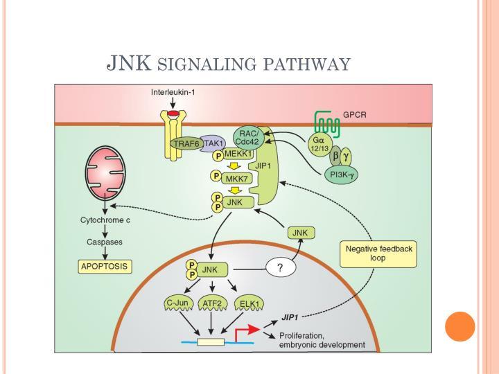 JNK signaling pathway