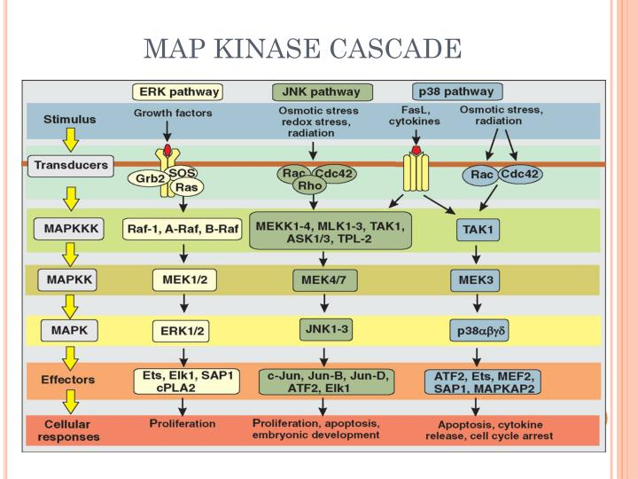 MAP KINASE CASCADE