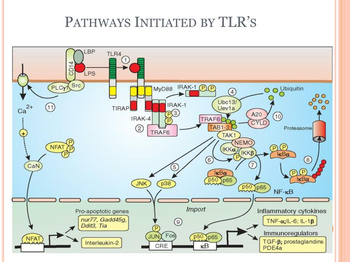 Pathways Initiated by TLR's