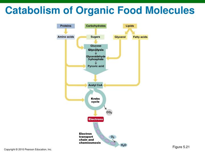 Catabolism of Organic Food Molecules