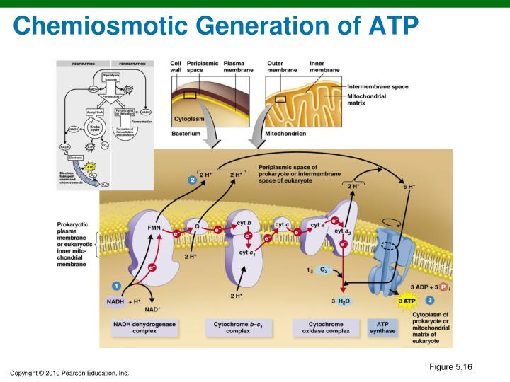 Chemiosmotic Generation of ATP