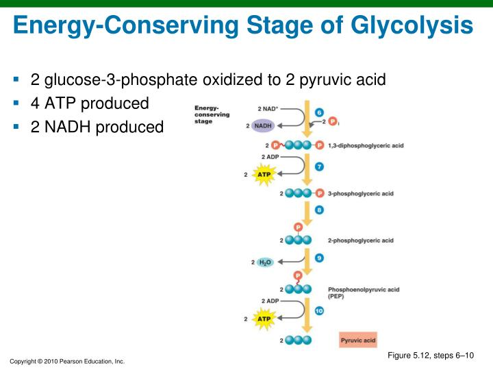 Energy-Conserving Stage of Glycolysis