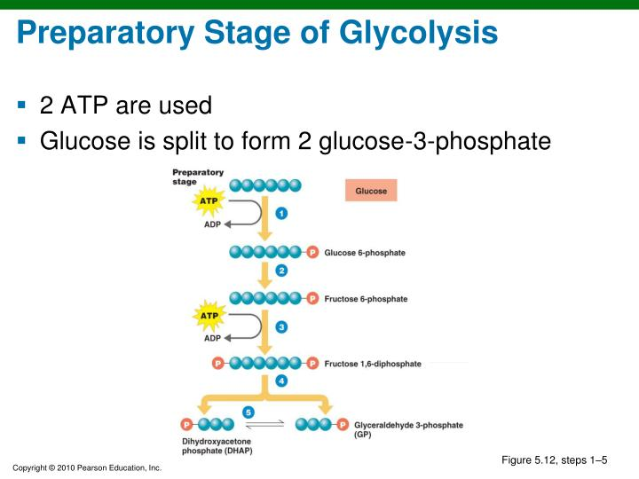 Preparatory Stage of Glycolysis