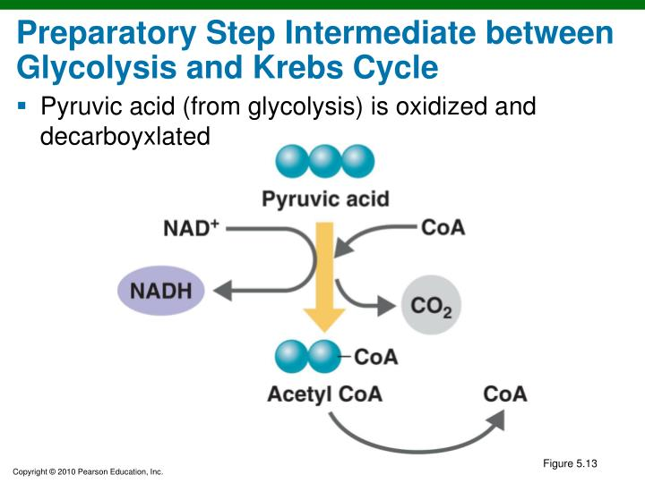 Preparatory Step Intermediate between Glycolysis and Krebs Cycle