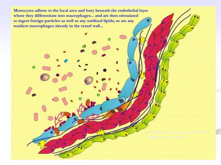 Monocytes adhere to