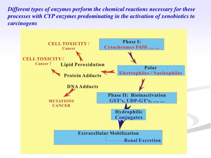Different types of enzymes perform the chemical reactions necessary for these processes with CYP enzymes predominating in the activation of xenobiotics to carcinogens