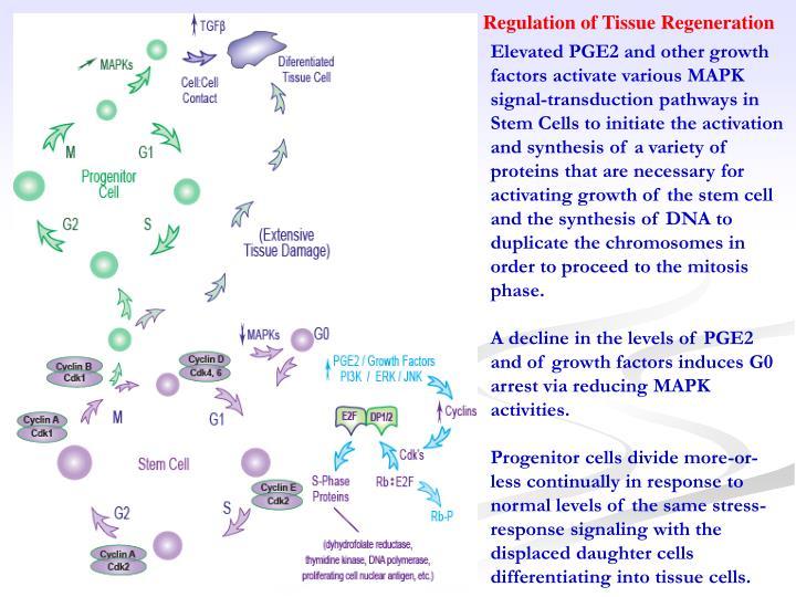 Regulation of Tissue Regeneration