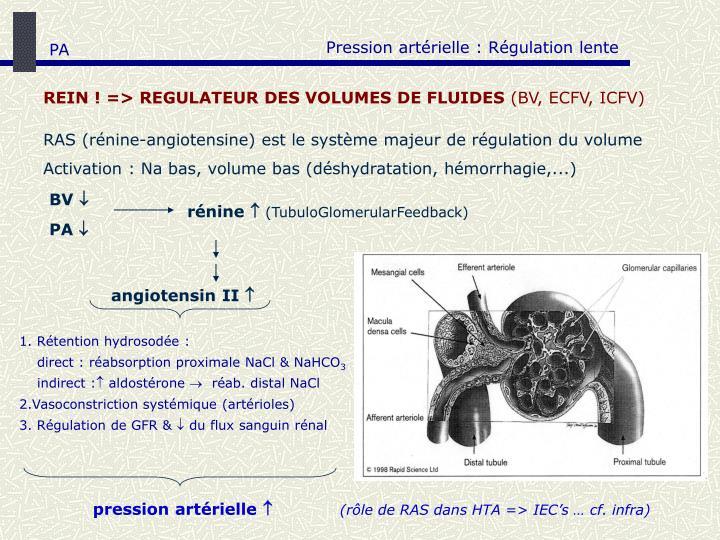 Pression artérielle : Régulation lente
