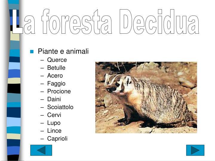 La foresta Decidua
