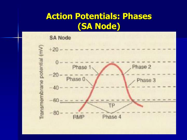 Action Potentials: Phases