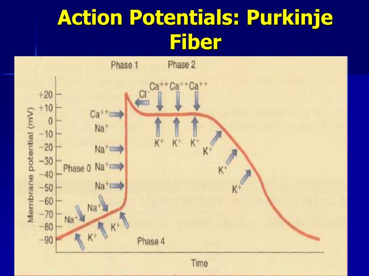 Action Potentials: Purkinje Fiber