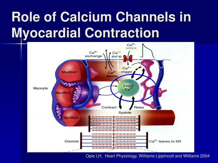 Role of Calcium Channels in Myocardial Contraction
