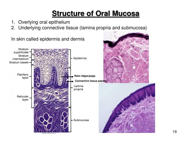 Structure of Oral Mucosa