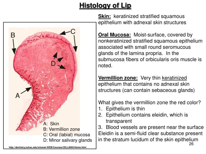 Histology of Lip
