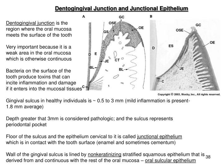 Dentogingival Junction and Junctional Epithelium
