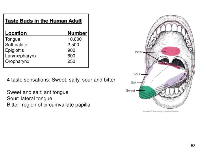 Taste Buds in the Human Adult