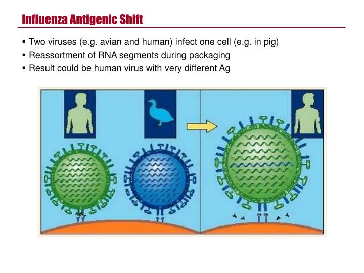 Influenza Antigenic Shift