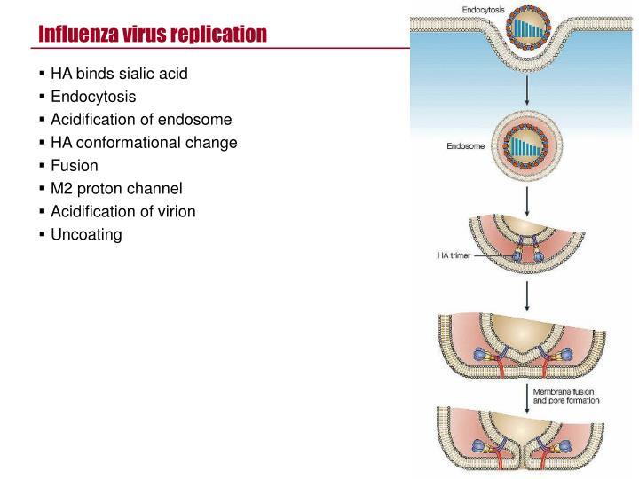 Influenza virus replication