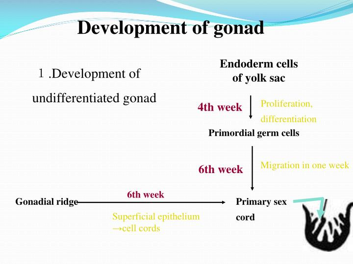 Endoderm cells of yolk sac
