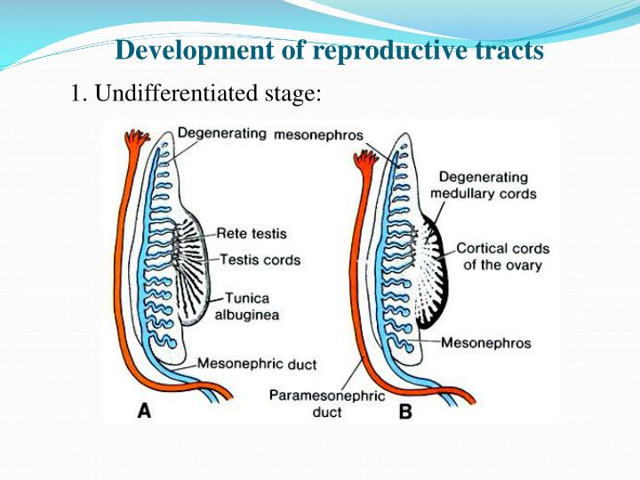 Development of reproductive tracts