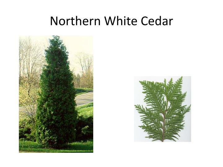 Northern White Cedar ~ Ppt tree leaf finder powerpoint presentation id
