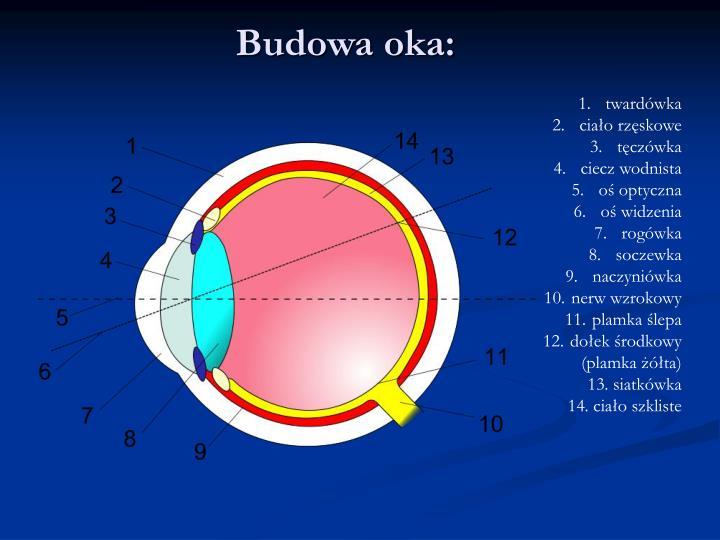 Budowa oka: