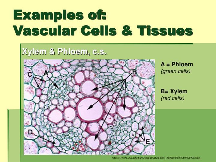 Xylem & Phloem, c.s.