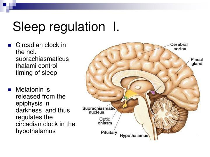 Sleep regulation  I.