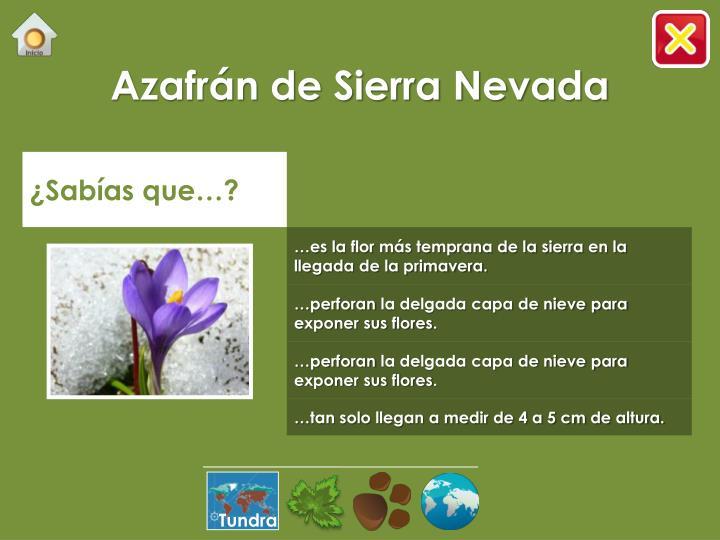 Azafrán de Sierra Nevada