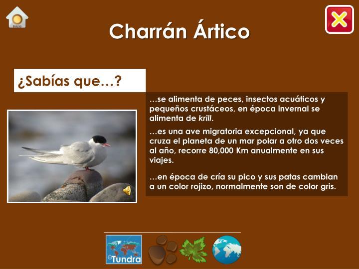 Charrán Ártico