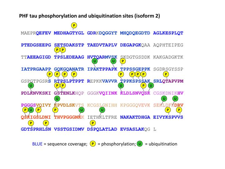PHF tau phosphorylation and ubiquitination sites (isoform 2)