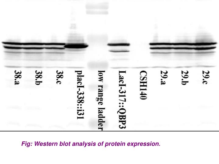 Fig: Western blot analysis of protein expression